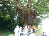 根谷集落の「アコウ」の巨木を観察する参加者