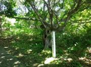 焼尻島・オンコの庄 風説により背の低い植生となったオンコの植生地