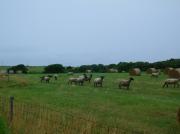 焼尻・めん羊牧場、こい!こい!こう!と叫ぶと羊が集まってきた