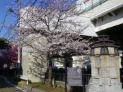 谷戸橋の袂のシドモア桜