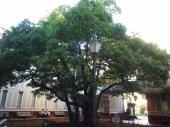 横浜開港資料館中庭にあるたまくすの木